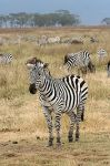 No, this is not a photo of  one of the referees from the game. This is an actual zebra.